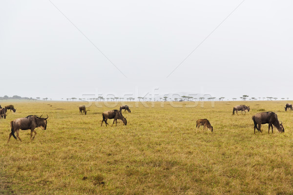 wildebeests grazing in savannah at africa Stock photo © dolgachov
