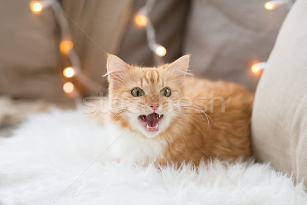 red tabby cat mewing on sofa and sheepskin at home Stock photo © dolgachov