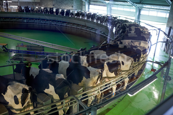 milking cows at dairy farm rotary parlour system Stock photo © dolgachov