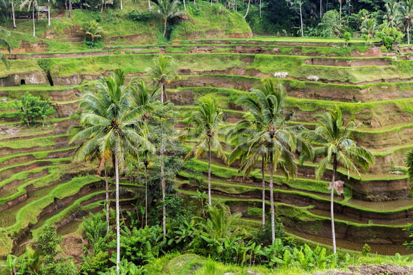 Riz plantation terrasse Sri Lanka agriculture Photo stock © dolgachov
