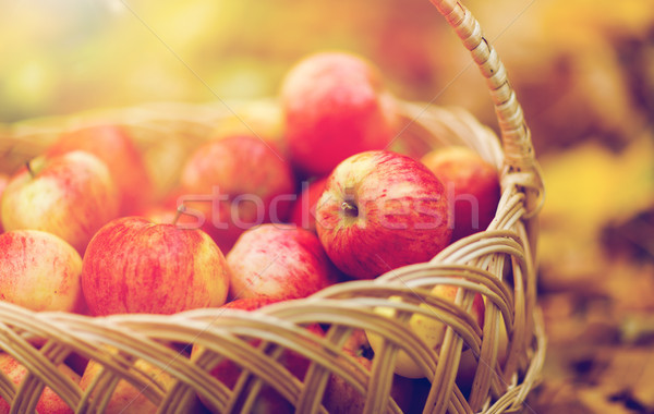 Stock photo: wicker basket of ripe red apples at autumn garden