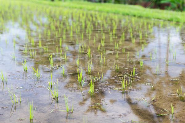 Arrozal plantação Ásia agricultura Foto stock © dolgachov