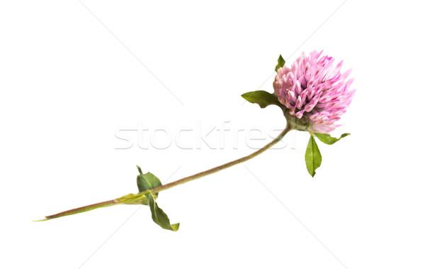 Um trevo flor natureza temporada verão Foto stock © dolgachov