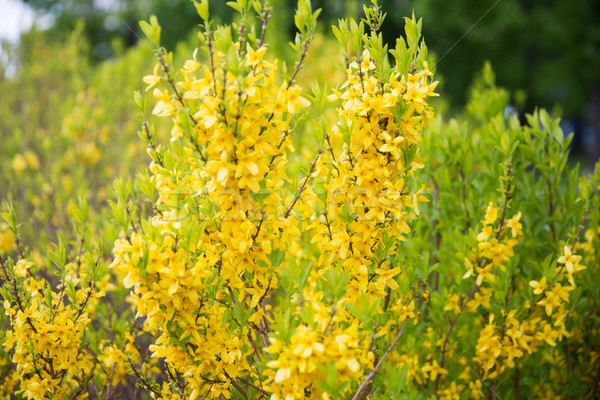 Bush fiori gialli natura botanica flora Foto d'archivio © dolgachov