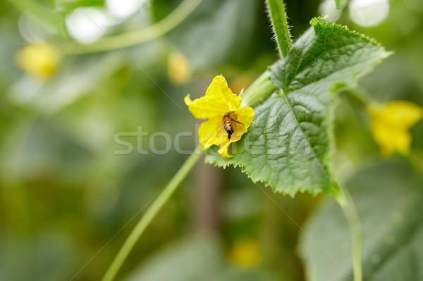 Bee komkommer plant bloementuin insect tuinieren Stockfoto © dolgachov
