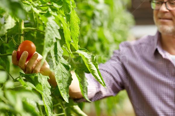 Starszy człowiek rozwój pomidory gospodarstwa szklarnia Zdjęcia stock © dolgachov