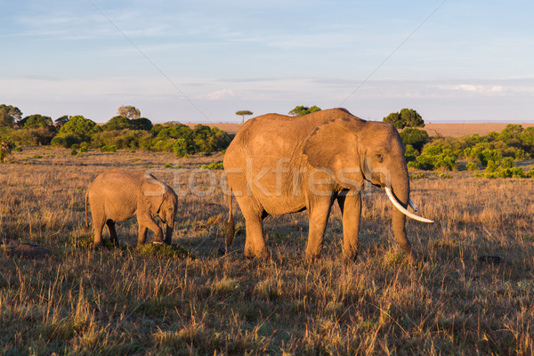elephant with baby or calf in savannah at africa Stock photo © dolgachov