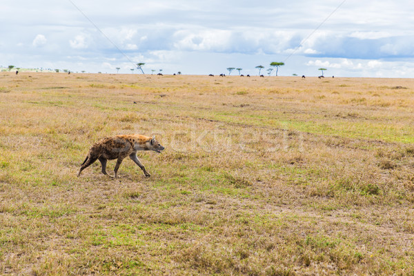 hyena hunting in savannah at africa Stock photo © dolgachov