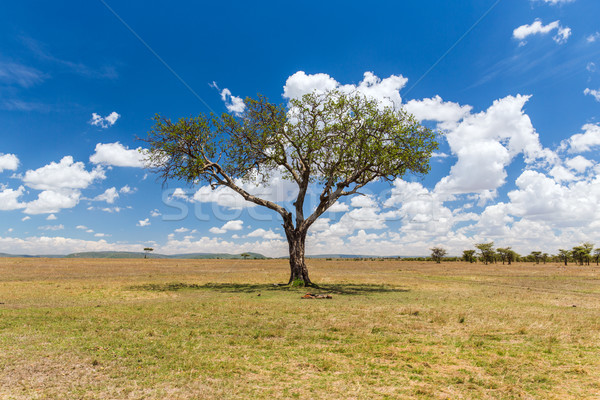 acacia tree in savannah at africa Stock photo © dolgachov