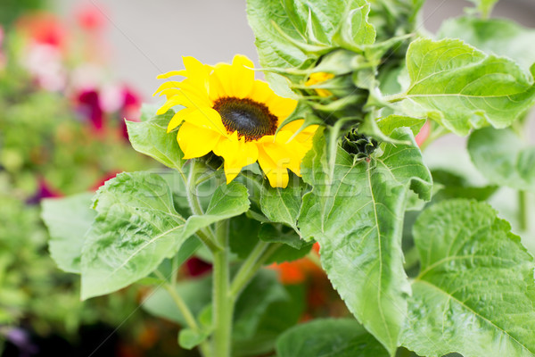 close up of blooming sunflower in garden Stock photo © dolgachov