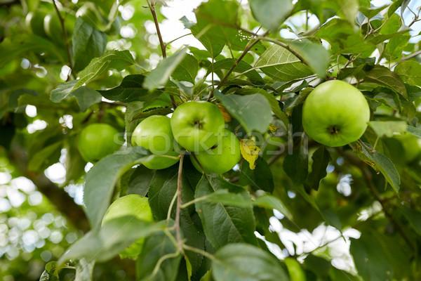Közelkép almafa ág természet növénytan kertészkedés Stock fotó © dolgachov