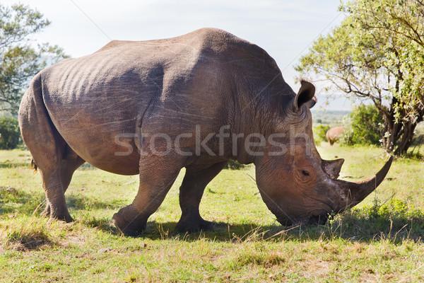 Orrszarvú szavanna Afrika állat természet állatvilág Stock fotó © dolgachov