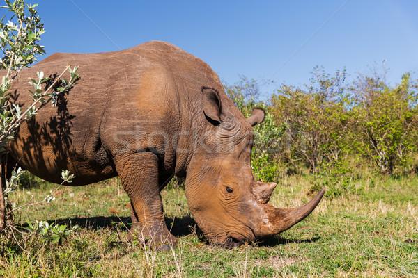 rhino grazing in savannah at africa Stock photo © dolgachov