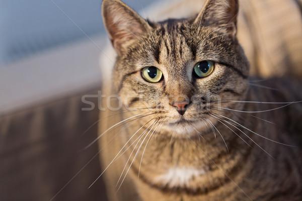 portrait of tabby cat at home Stock photo © dolgachov