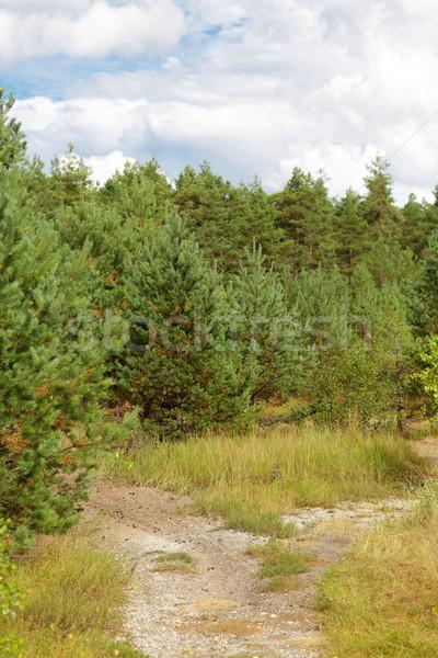 Foto d'archivio: Estate · abete · rosso · foresta · percorso · natura · stagione