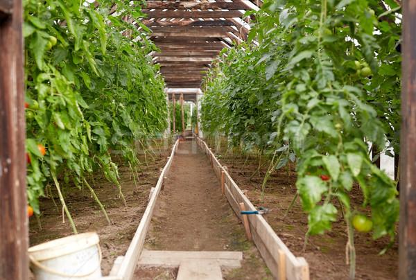 Domates fidan büyüyen sera sebze bahçıvanlık Stok fotoğraf © dolgachov