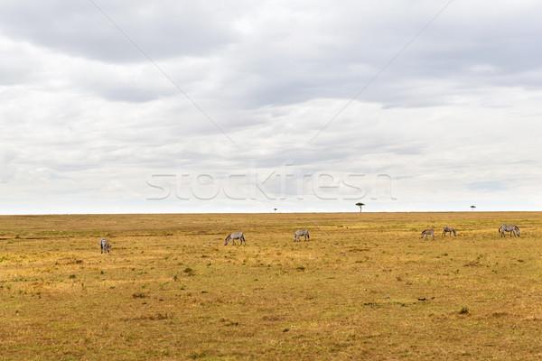 zebras grazing in savannah at africa Stock photo © dolgachov