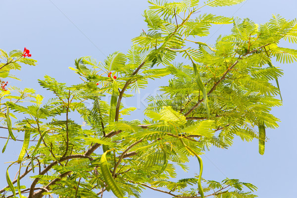 delonix regia or flame tree outdoors Stock photo © dolgachov