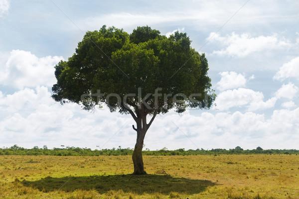 árvore savana África natureza paisagem animais selvagens Foto stock © dolgachov