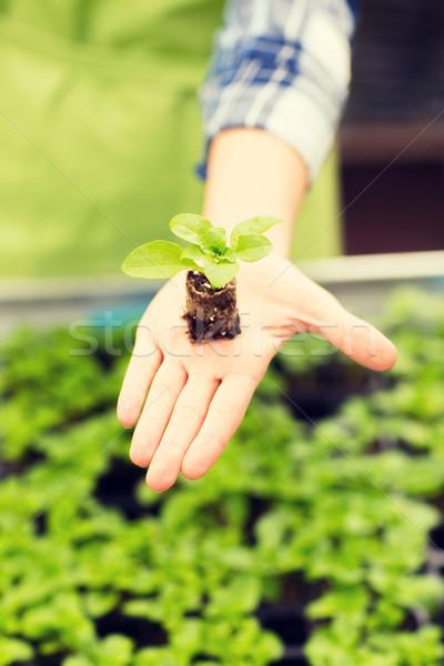 Mujer mano planta de semillero Foto stock © dolgachov