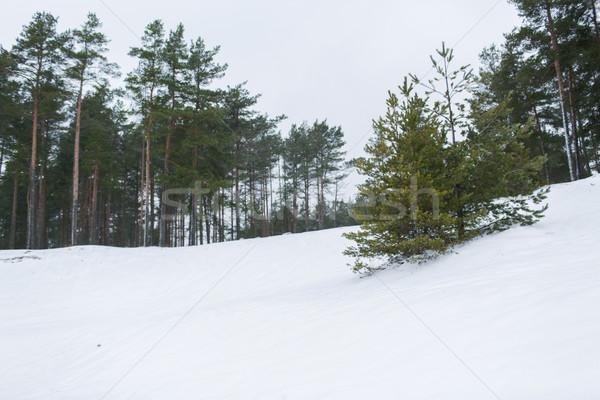 Inverno abete rosso foresta neve campo natura Foto d'archivio © dolgachov