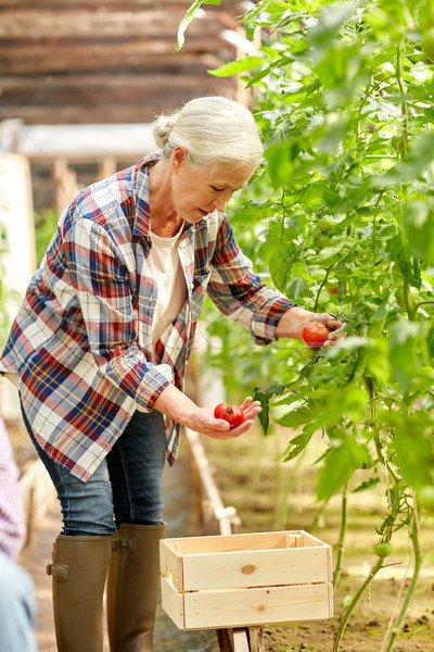 senior woman growing tomatoes at farm greenhouse Stock photo © dolgachov