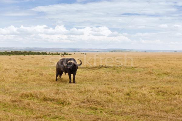 buffalo bull grazing in savannah at africa Stock photo © dolgachov