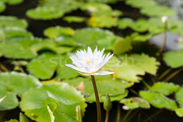 close up of white water lily in pond Stock photo © dolgachov