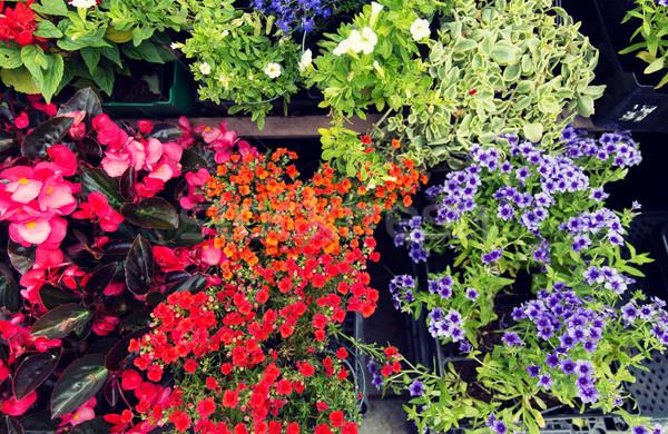 çiçek fidan sokak pazar bahçıvanlık Stok fotoğraf © dolgachov