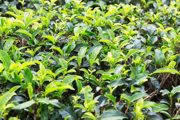 чай плантация области Шри Ланка сельского хозяйства Сток-фото © dolgachov