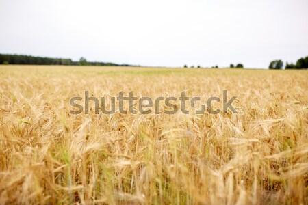 зерновых области зрелый рожь пшеницы природы Сток-фото © dolgachov