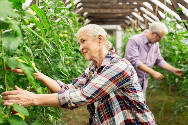 Oude vrouw tomaten omhoog boerderij broeikas Stockfoto © dolgachov