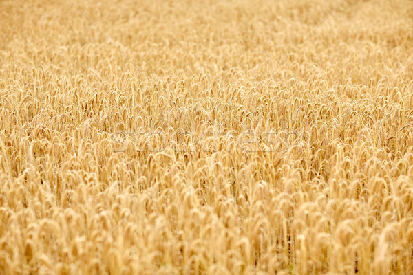cereal field with spikelets of ripe rye or wheat Stock photo © dolgachov
