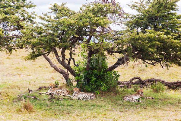 cheetahs lying under tree in savannah at africa Stock photo © dolgachov