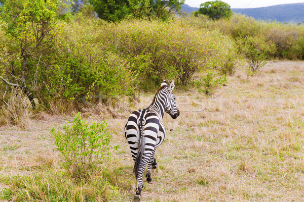 zebra grazing in savannah at africa Stock photo © dolgachov