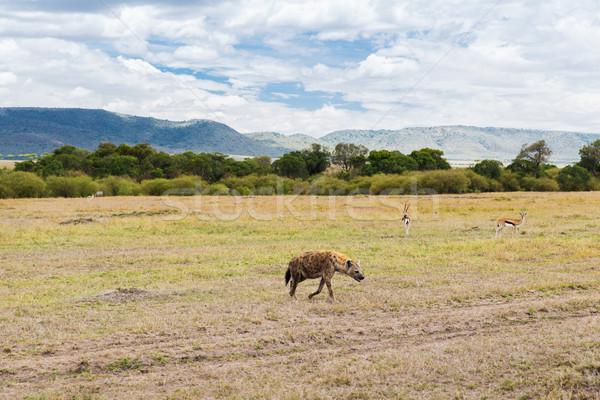 hyena and thomsons gazelles in savannah at africa Stock photo © dolgachov