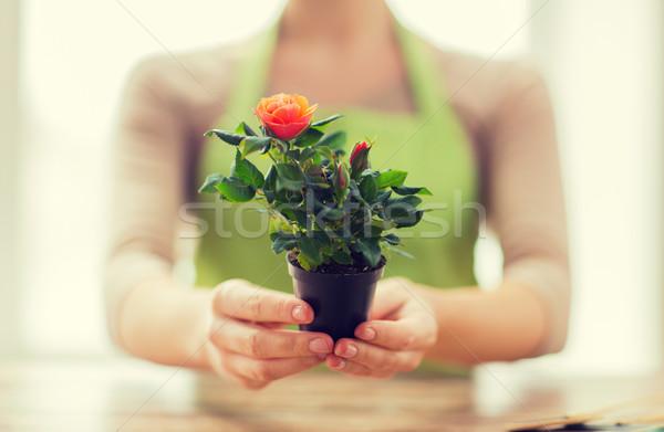 Vrouw handen rozen bush Stockfoto © dolgachov