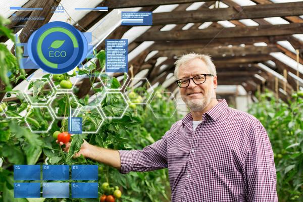 Altos hombre creciente tomates granja invernadero Foto stock © dolgachov
