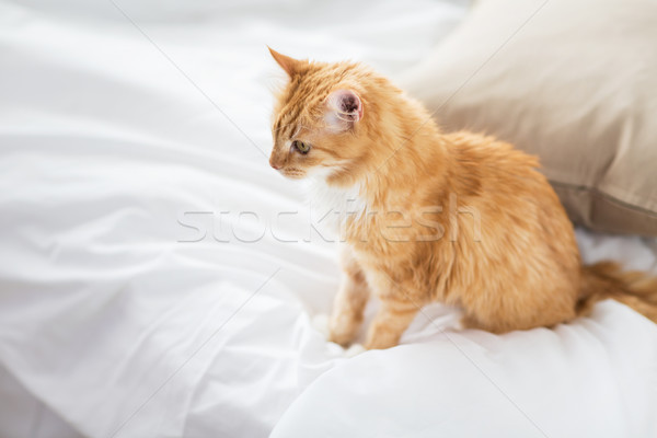 red tabby cat at home in bed Stock photo © dolgachov