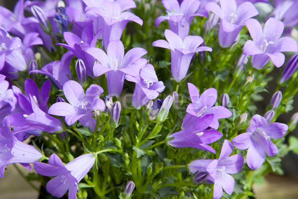 beautiful bellflowers at summer garden Stock photo © dolgachov