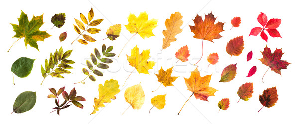 collection of beautiful colored autumn leaves Stock photo © dolgachov