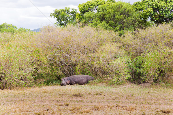 hippo in maasai mara national reserve at africa Stock photo © dolgachov