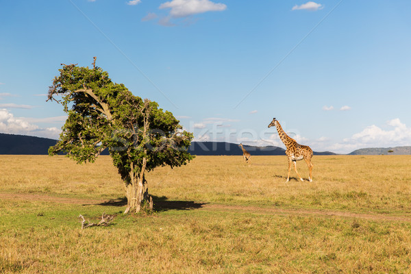 Giraffe savana africa animale natura fauna selvatica Foto d'archivio © dolgachov