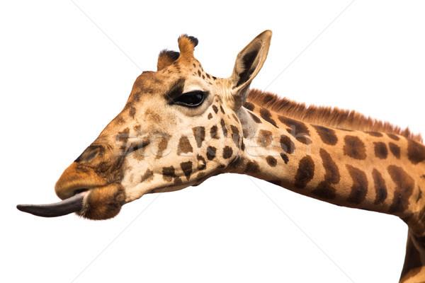 giraffe showing tongue Stock photo © dolgachov