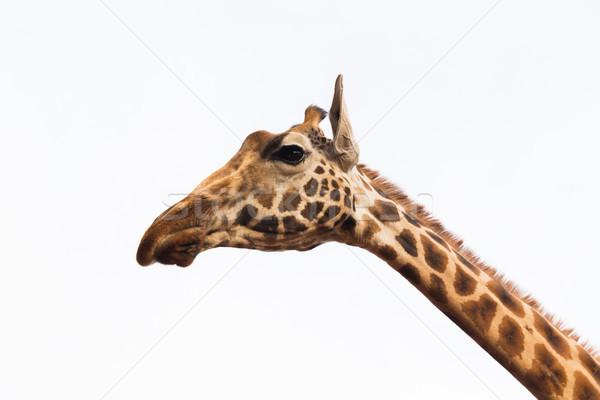 close up of giraffe head Stock photo © dolgachov