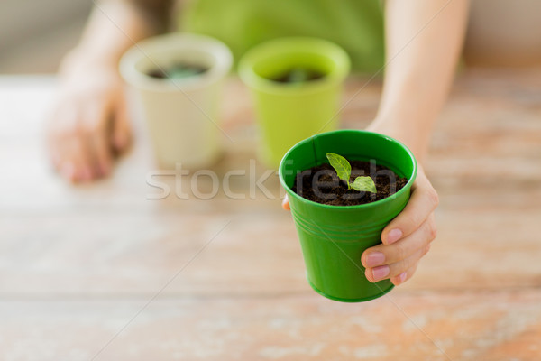 close up of woman hand holding pot with sprout Stock photo © dolgachov