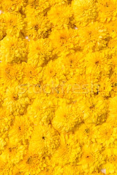 beautiful chrysanthemums flowers Stock photo © dolgachov