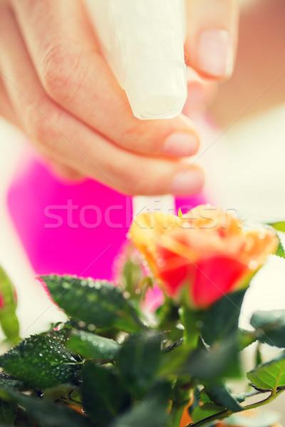 close up of woman hand spraying rose flower Stock photo © dolgachov