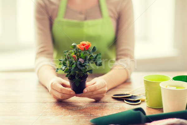 close up of woman hands holding roses bush in pot Stock photo © dolgachov