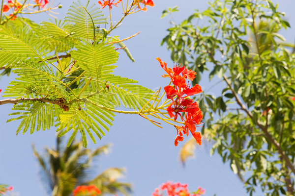 flowers of delonix regia or flame tree outdoors Stock photo © dolgachov